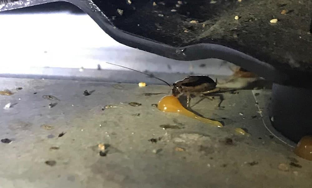 Schaben und Kakerlakenbekämpfung